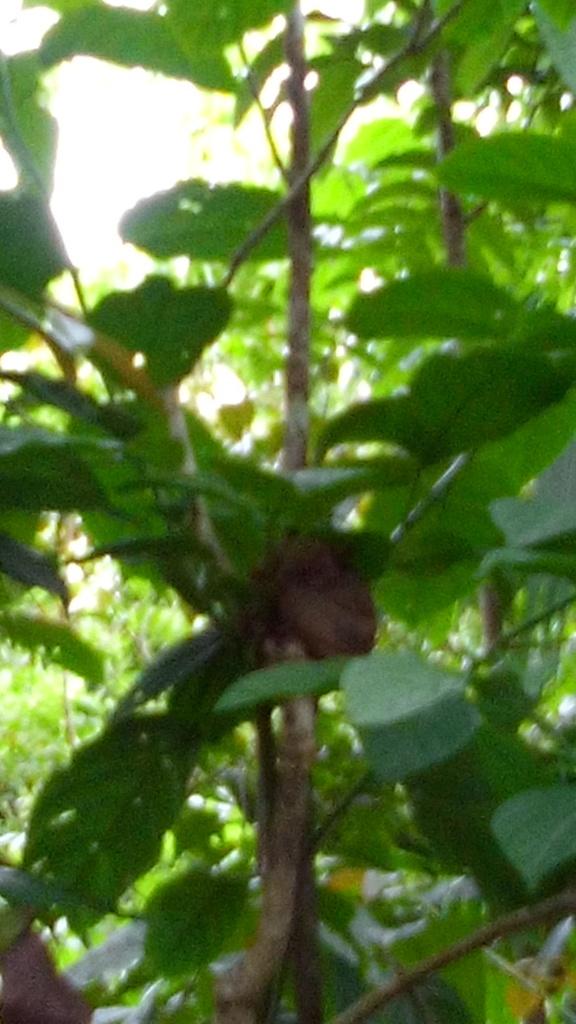 A groggy tarsier hiding in the trees